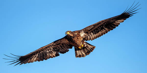 Photograph - Golden Eagle by Jeff Phillippi