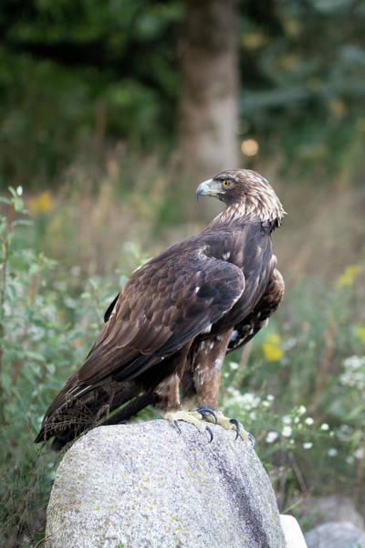 Photograph - Golden Eagle On Rock 92515 by Rick Veldman