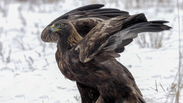 Photograph - Golden Eagle by Ronnie and Frances Howard