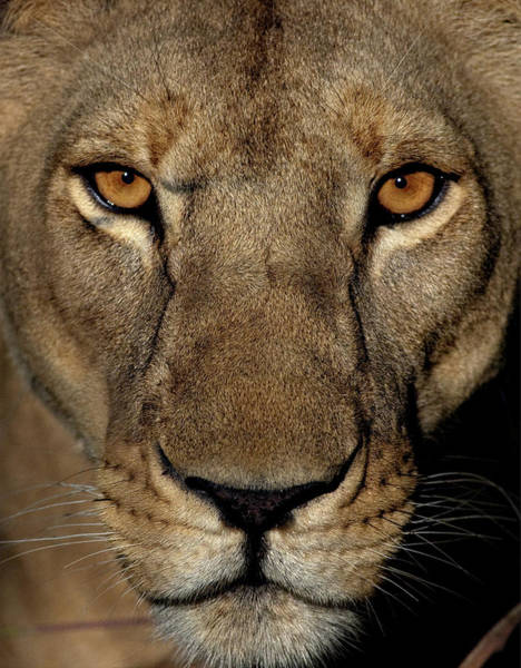 Golden Eye Photograph - Golden Eyes by Niassa Lion Project