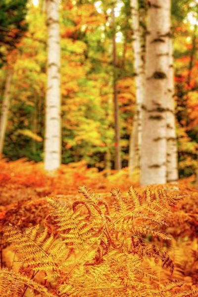 Photograph - Golden Ferns In The Birch Glade by Jeff Sinon