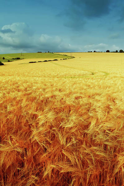 Cultivate Photograph - Golden Field by Druvo