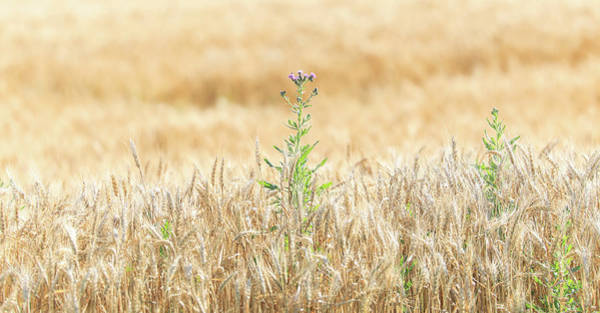 Photograph - Golden Field Surprise by Dan Sproul