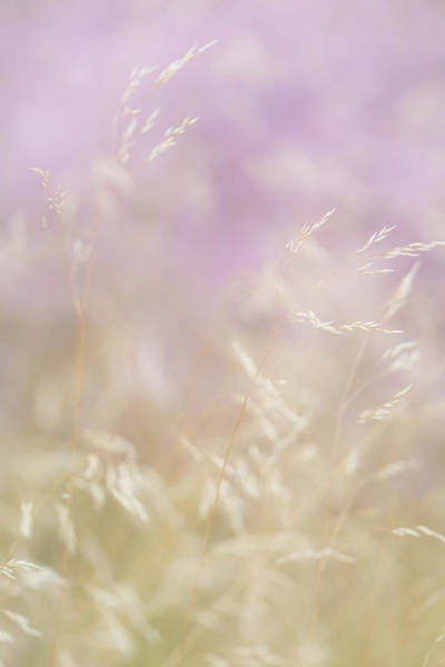Wall Art - Photograph - Golden Grasses And Purple Heather Swaying In The Breeze by Anita Nicholson