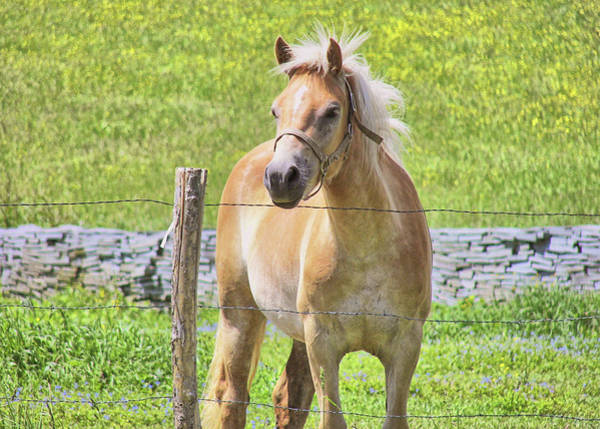 Photograph - Golden Haflinger by JAMART Photography