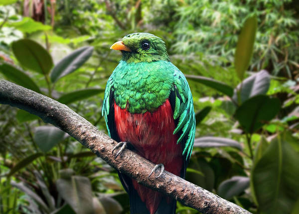 Photograph - Golden-headed Quetzal by Arterra Picture Library