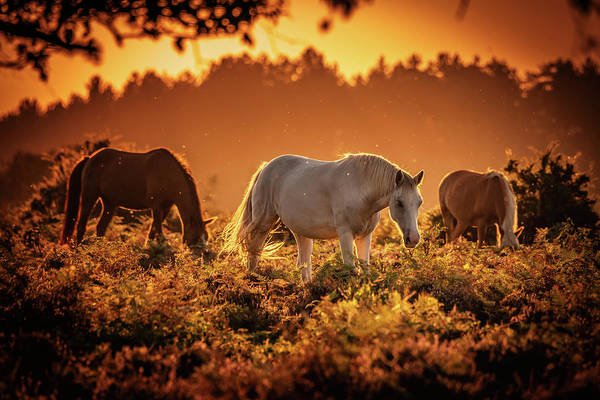 Photograph - Golden Horses by Framing Places