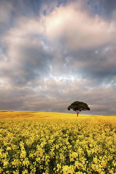 Nottinghamshire Photograph - Golden Light, Rape Seed Field by Alex Baxter