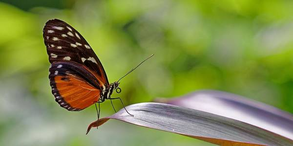 Photograph - Golden Longwing Butterfly by KJ Swan
