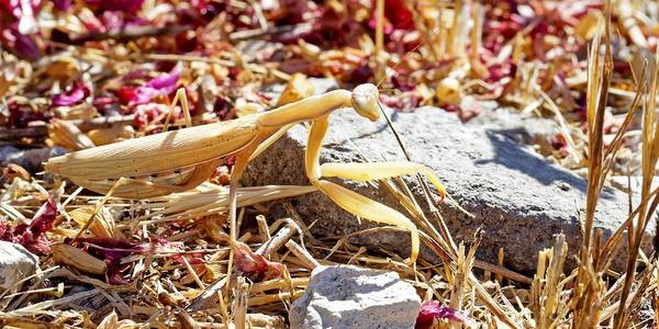 Photograph - Golden Mantis by KJ Swan