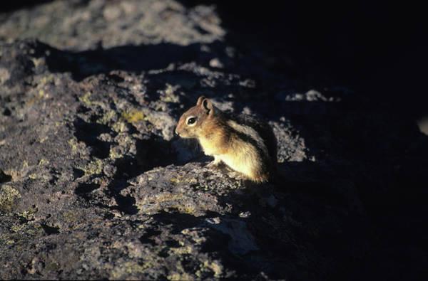Ground Photograph - Golden-mantled Ground Squirrel by Heinrich Van Der Berg
