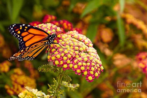 Photograph - Golden Monarch by Susan Rydberg