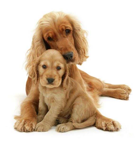 Photograph - Golden Mother And Pup by Warren Photographic