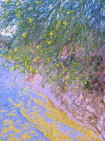 Photograph - Golden Petals In A Desert Wash by Judy Kennedy