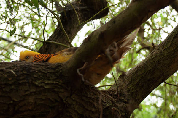 Photograph - Golden Pheasant Hiding In A Tree by Chris Flees