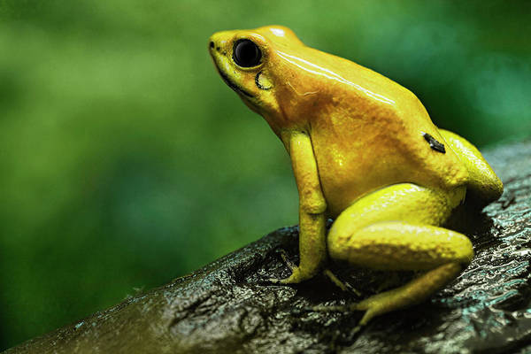 Colombian Wall Art - Photograph - Golden Poison Frog by Bjorn Holland