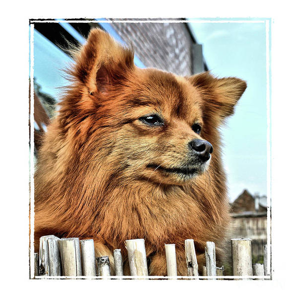 Photograph - Golden Pomeranian Dog by Aapshop
