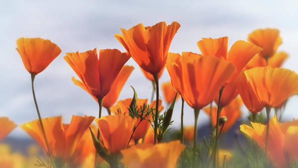 Wall Art - Photograph - Golden Poppies In The Breeze  by Saija Lehtonen