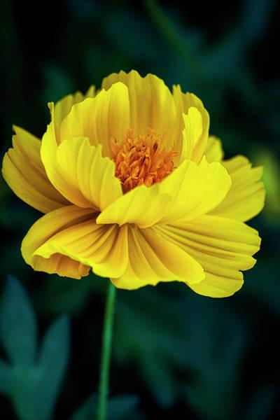 Photograph - Golden Poppy by Robert FERD Frank