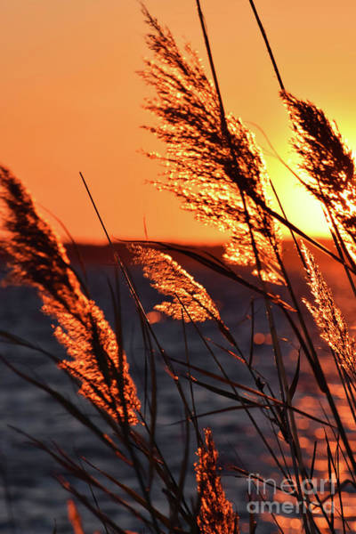 Photograph - Golden Reeds by Patti Whitten