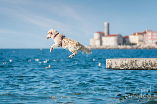 Wall Art - Photograph - Golden Retriever Dog Jumping Into Sea by Sonsart