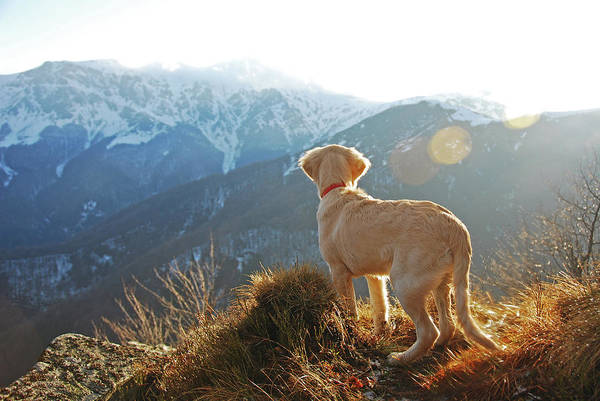 Wall Art - Photograph - Golden Retriever  Dog With Mountains In by Maya Karkalicheva