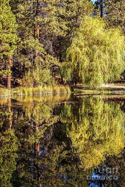 Photograph - Golden Shevlin Park by David Millenheft