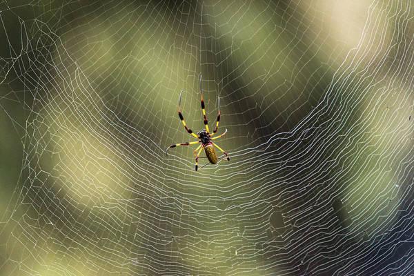 Golden Orb Spider Photograph - Golden Silk Orb Weaver by David Morefield