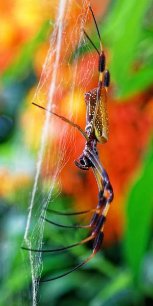 Photograph - Golden Silk Orb Weaver by KJ Swan