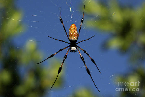 Photograph - Golden Silk Orb-weaver by Meg Rousher