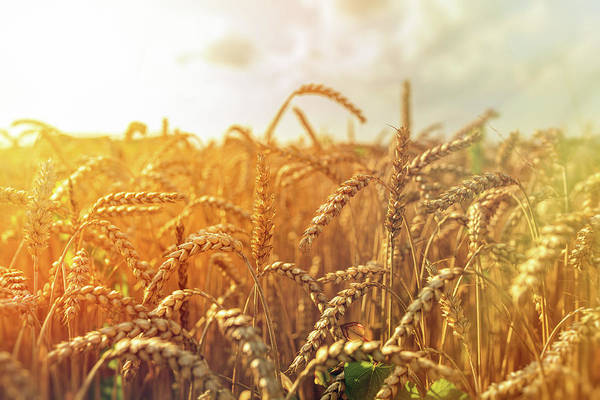 Wall Art - Photograph - Golden Wheat Field And Sunny Day. by Przemyslaw Iciak