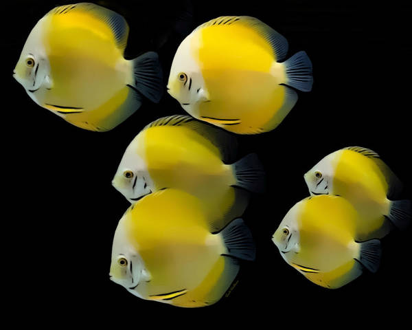 Digital Art - Golden Yellow Discus School by Scott Wallace Digital Designs
