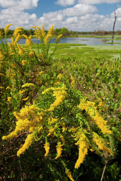 Vertical Landscape Photograph - Goldenrod At Edge Of Marsh In Brazos by Danita Delimont
