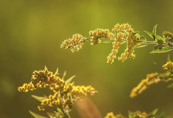 Photograph - Goldenrod by Dan Sproul