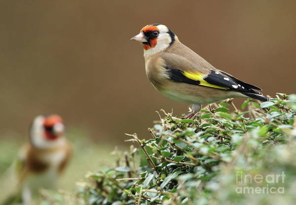 Photograph - Goldfinch 2 by Peter Skelton