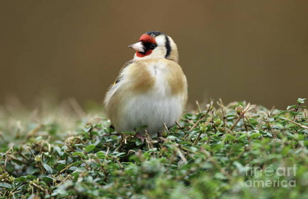 Photograph - Goldfinch 3 by Peter Skelton
