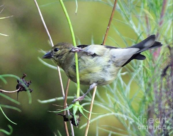 Photograph - Goldfinch 33 by Lizi Beard-Ward