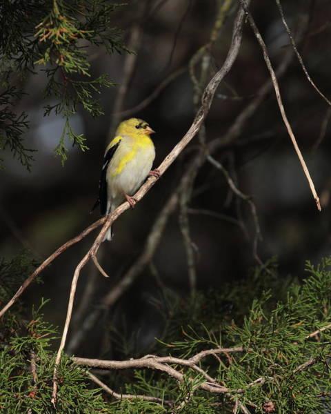 Photograph - Goldfinch 6754 by John Moyer
