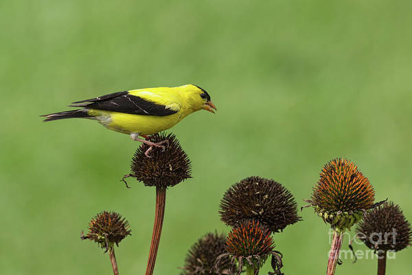 Photograph - Goldfinch And Coneflowers by David Cutts