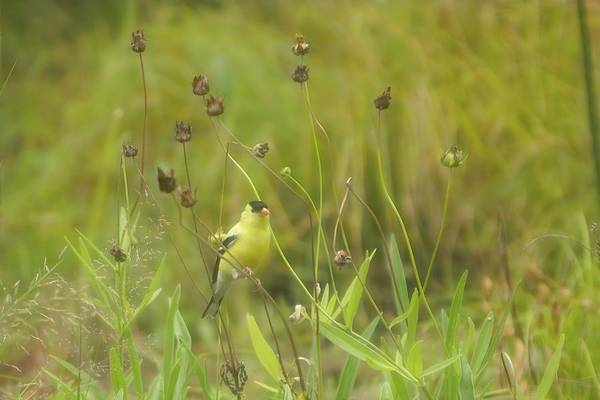 Photograph - Goldfinch In Summer by Jeff Folger