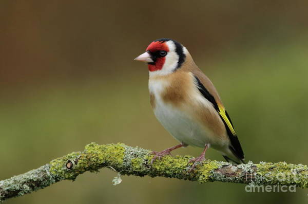 Photograph - Goldfinch by Peter Skelton