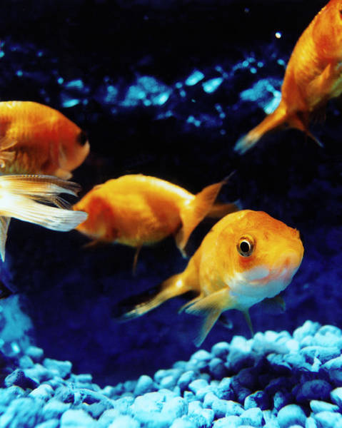 Fish Trap Photograph - Goldfish In Fish Tank by Silvia Otte