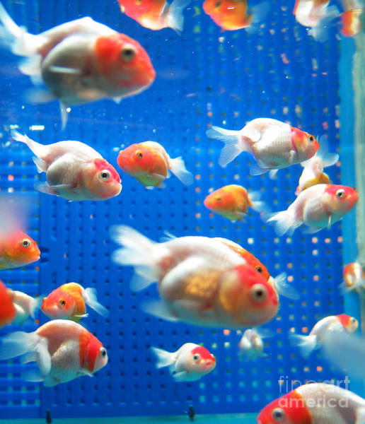 Bubble Wall Art - Photograph - Goldfish by Johnny Lye