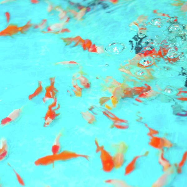 Fish Tank Photograph - Goldfishes In Water by © Kaori Yoshida