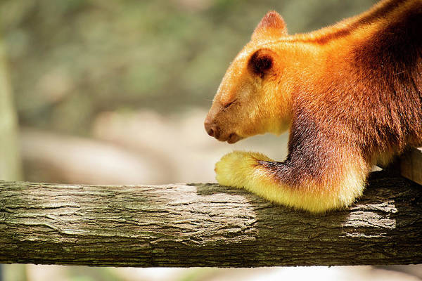 Photograph - Goodfellows Tree-kangaroo by Rob D Imagery