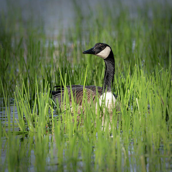 Photograph - Goose 13 by David Heilman