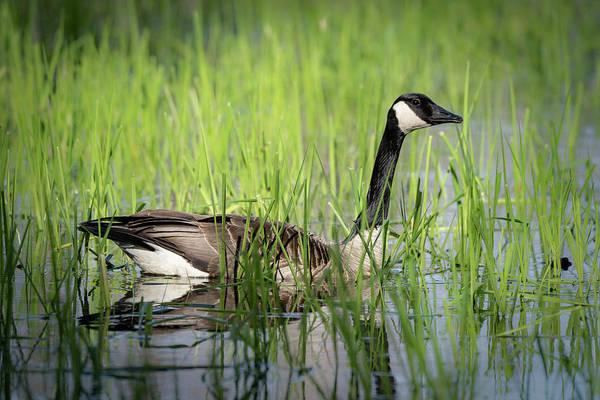 Photograph - Goose 14 by David Heilman