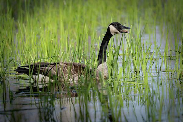 Photograph - Goose 15 by David Heilman