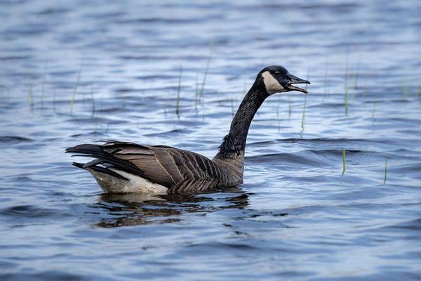 Photograph - Goose 3 by David Heilman