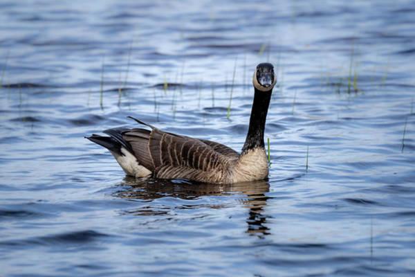 Photograph - Goose 4 by David Heilman